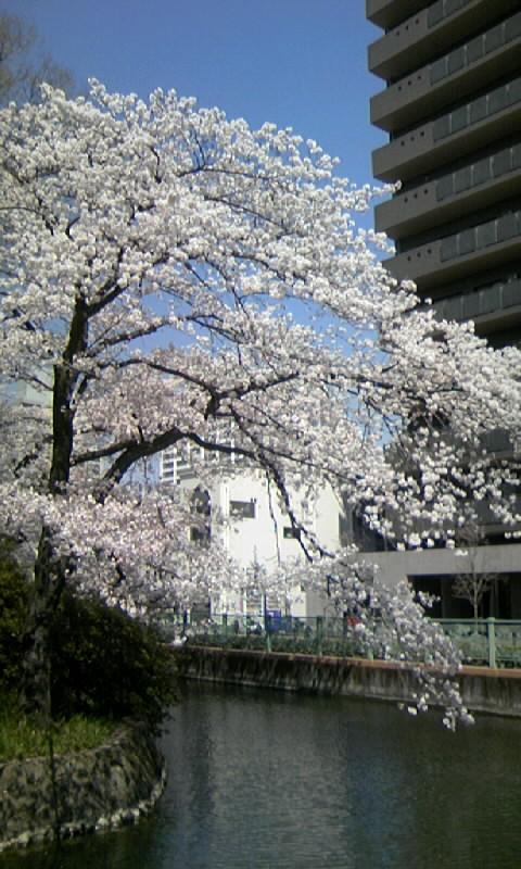 事務所周りのお堀の桜